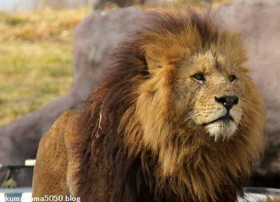 ライオン_1510