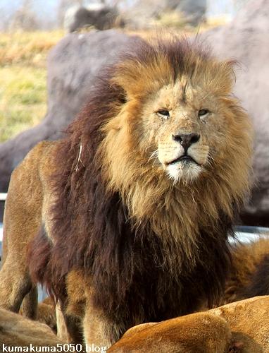 ライオン_1511