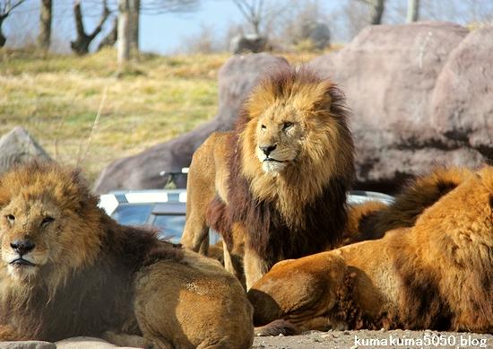 ライオン_1512