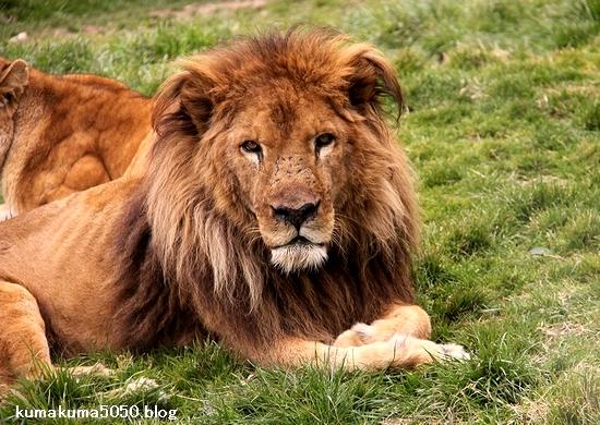 ライオン_1516