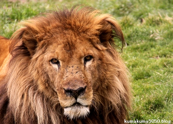 ライオン_1517