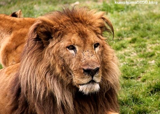 ライオン_1519