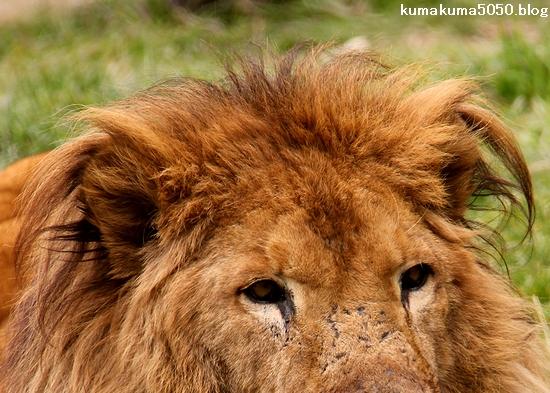 ライオン_1529