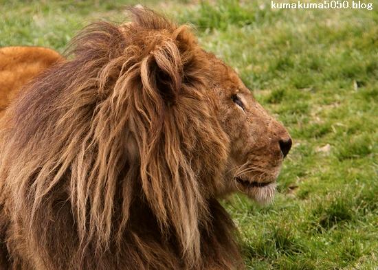 ライオン_1530