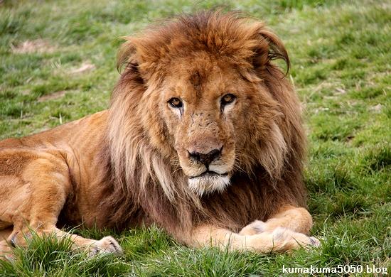 ライオン_1531