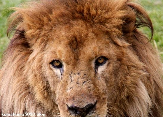 ライオン_1532