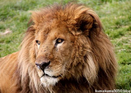 ライオン_1533