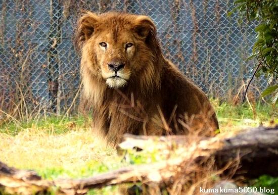 ライオン_1559