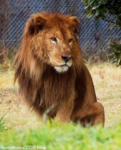 ライオン_1564