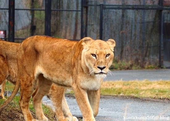 ライオン_1565