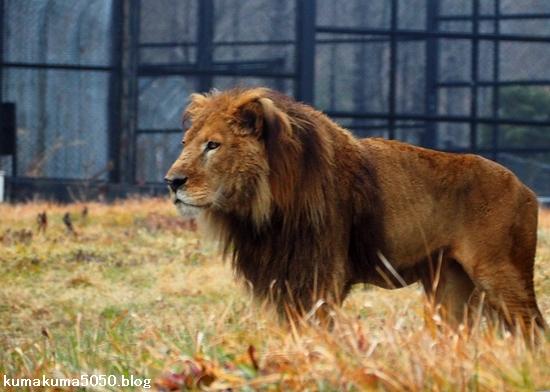 ライオン_1574