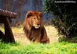 ライオン_1602