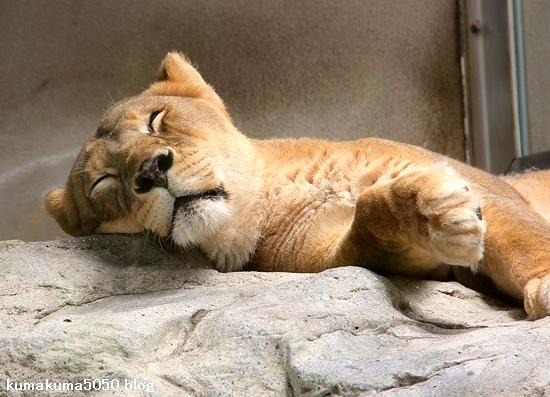 ライオン_1579