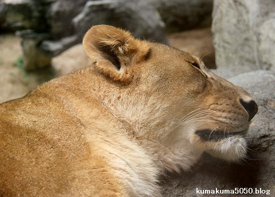 ライオン_1584