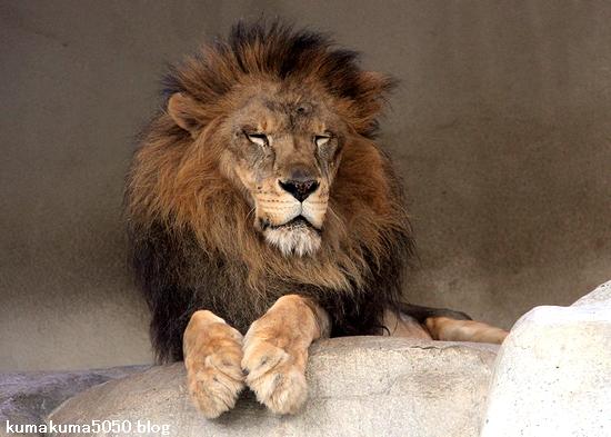 ライオン_1590