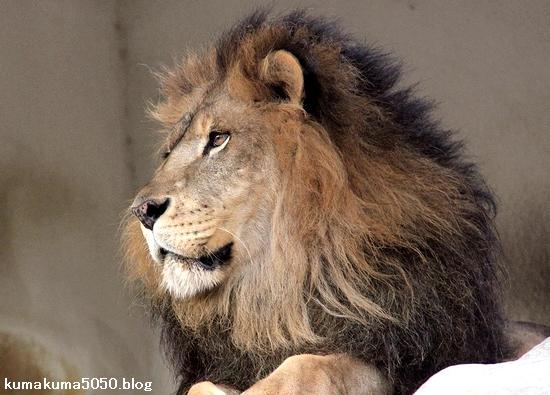 ライオン_1594