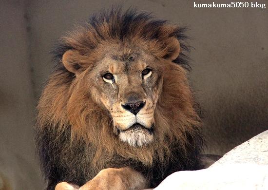 ライオン_1596