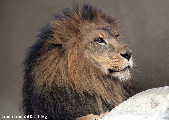 ライオン_1598