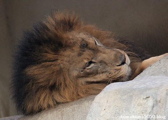 ライオン_1599