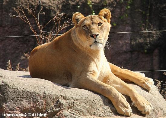 ライオン_1611