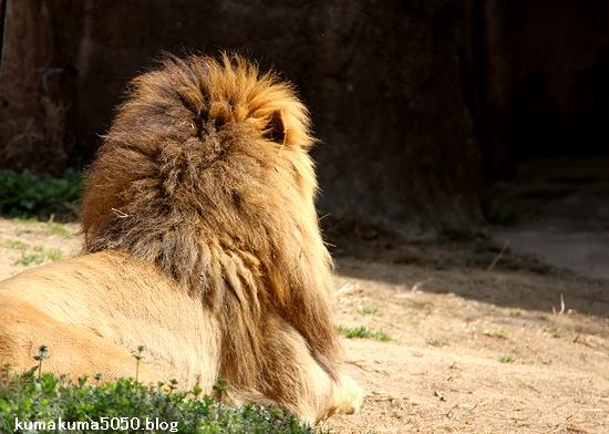 ライオン_1614
