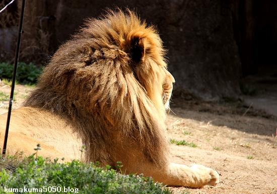 ライオン_1615