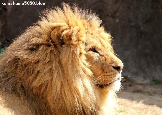 ライオン_1617