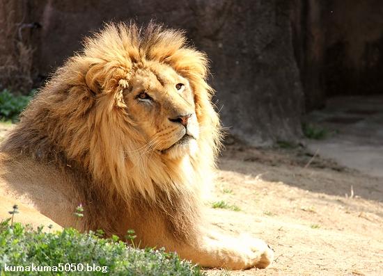 ライオン_1620