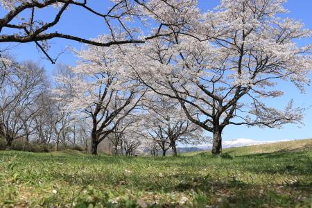 雫石桜-2