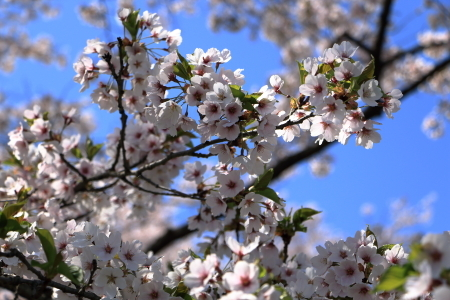 雫石桜-3