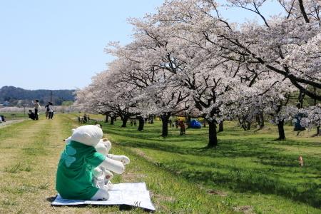 雫石桜-4