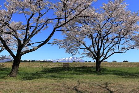 雫石桜-5
