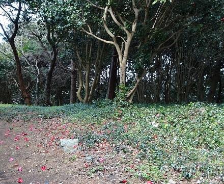 ヤブツバキの林