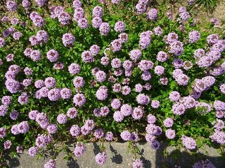 タイムの花1