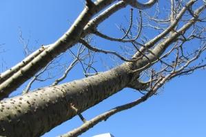 上古沢緑地の桜の幹