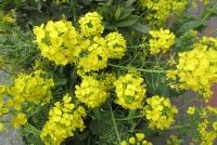 3月12日の菜の花
