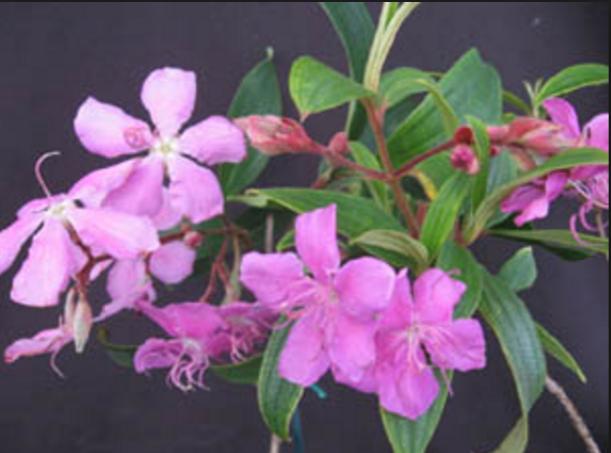 pink tibouchia