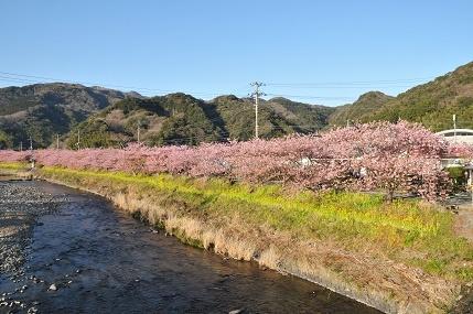 河津桜 - コピー