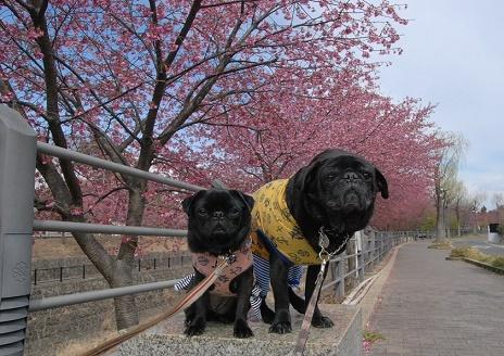 掛川桜の下で