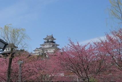掛川城と桜