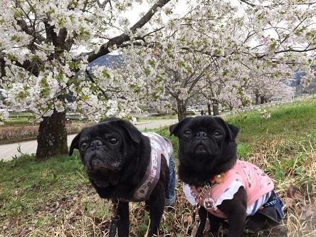満開の桜の木と