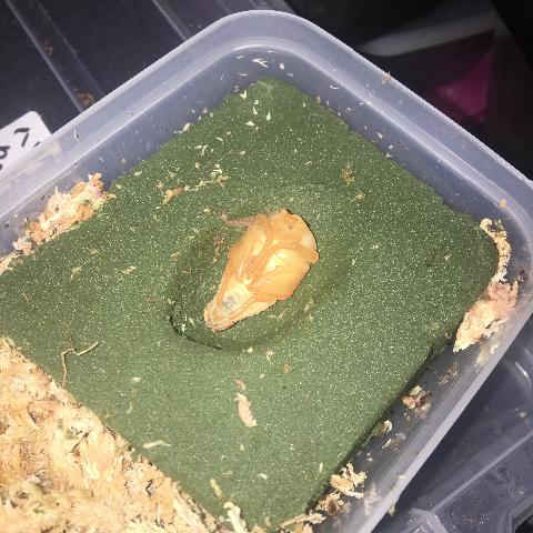 ケアシツノカナブン蛹
