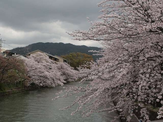 琵琶湖疎水の桜(徳成橋東側)