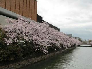 琵琶湖疎水の桜(ロームシアター京都西側)