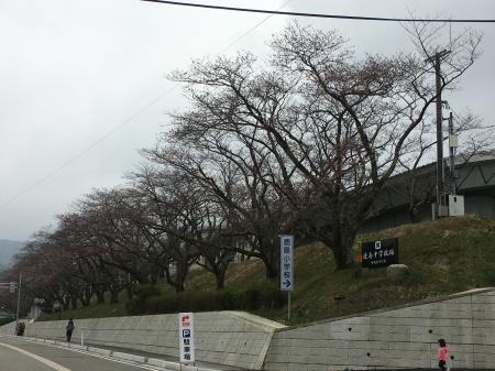 2017桜まつり2