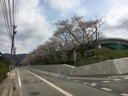 鹿島小学校桜並木2017-2