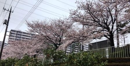 17sakura0409_1392.jpg