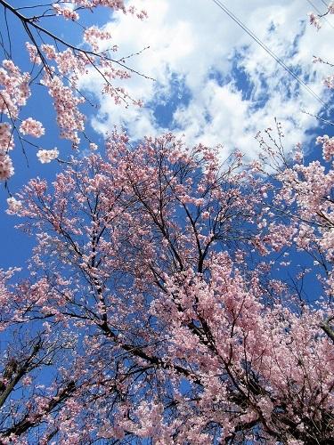 やっぱ青空に桜でしょ!