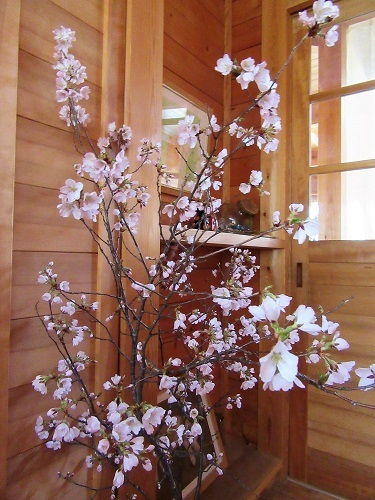 玄関の桜も咲きました!