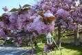 まり八重桜